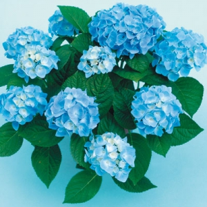Ankong Blau